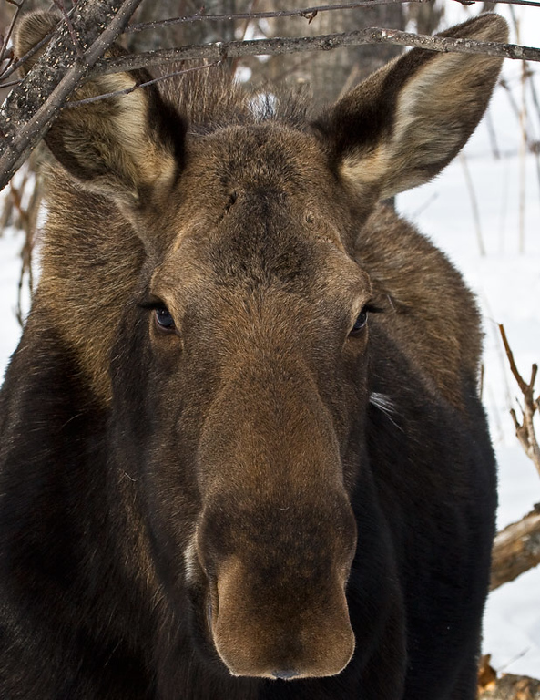 Are you a moose too?