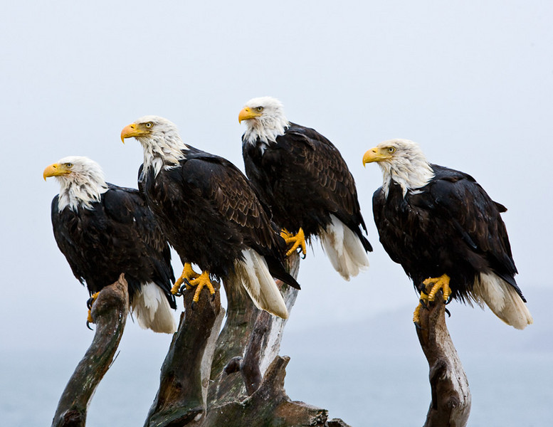 Four eagles taking a rest.