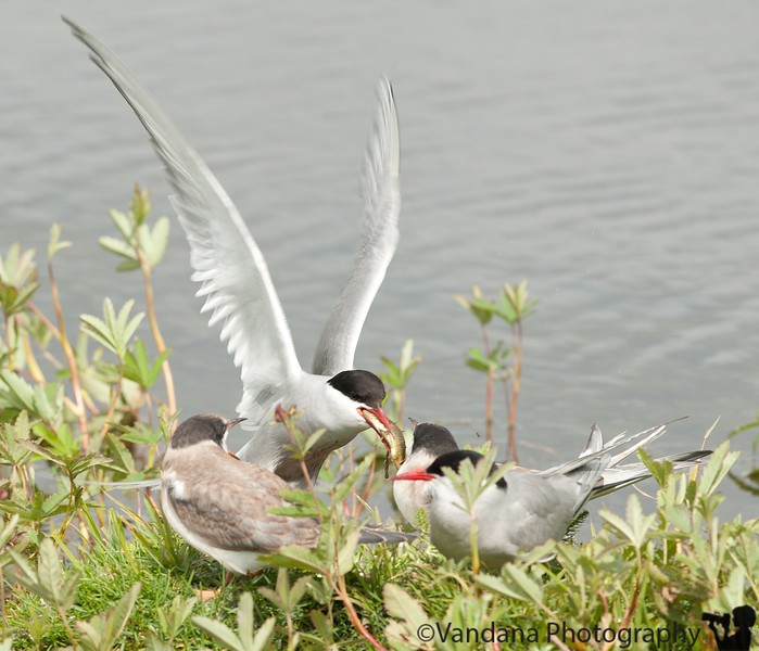 """July 6, 2010 - Food for thought.<br /> <br /> Term mom feeds her kids at Potter's marsh along the Seward Highway.<br /> <br /> A rather busy day - checked out of the Alyeska resort at Girdwood, drove via Seward Highway to Anchorage to Thunderbird Falls, Hatcher's Pass, Summit Lake, with brief stops at Matanuska Glacier, finally arriving at The Caribou Hotel in Glennallen at 11pm. Hot supper of Pad Thai cooked up by a lady in a trailer """"Tok Thai"""" eaten in the bright sunlight at 11:30 pm before retiring for the night with curtains down."""