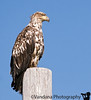 Looking up at the mountain, we quickly spot this immature bald eagle on a lamppost.