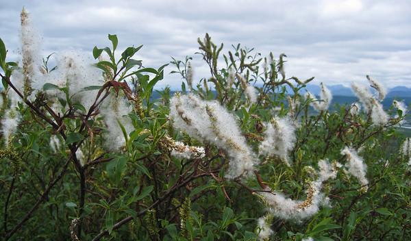 Cottonwood Wildflowers