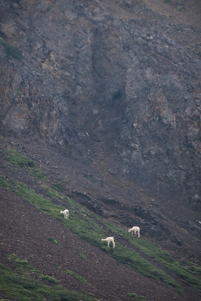 Dall Sheep; far away and off in the distance