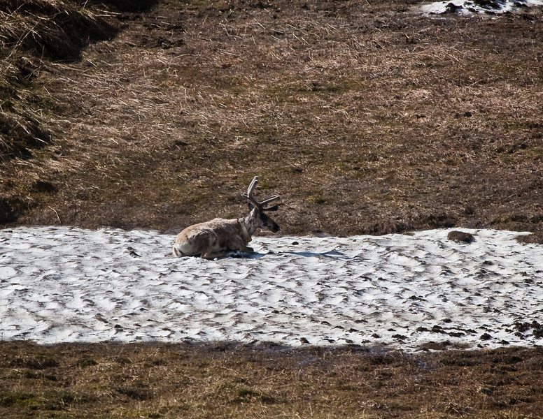 Caribou like to cool off on the snow patches