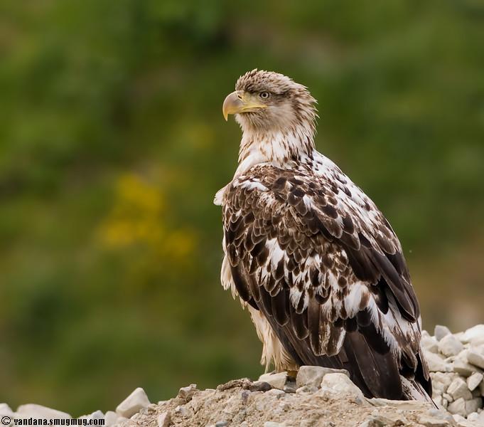 Immature bald eagle, Unalaska, Alaska