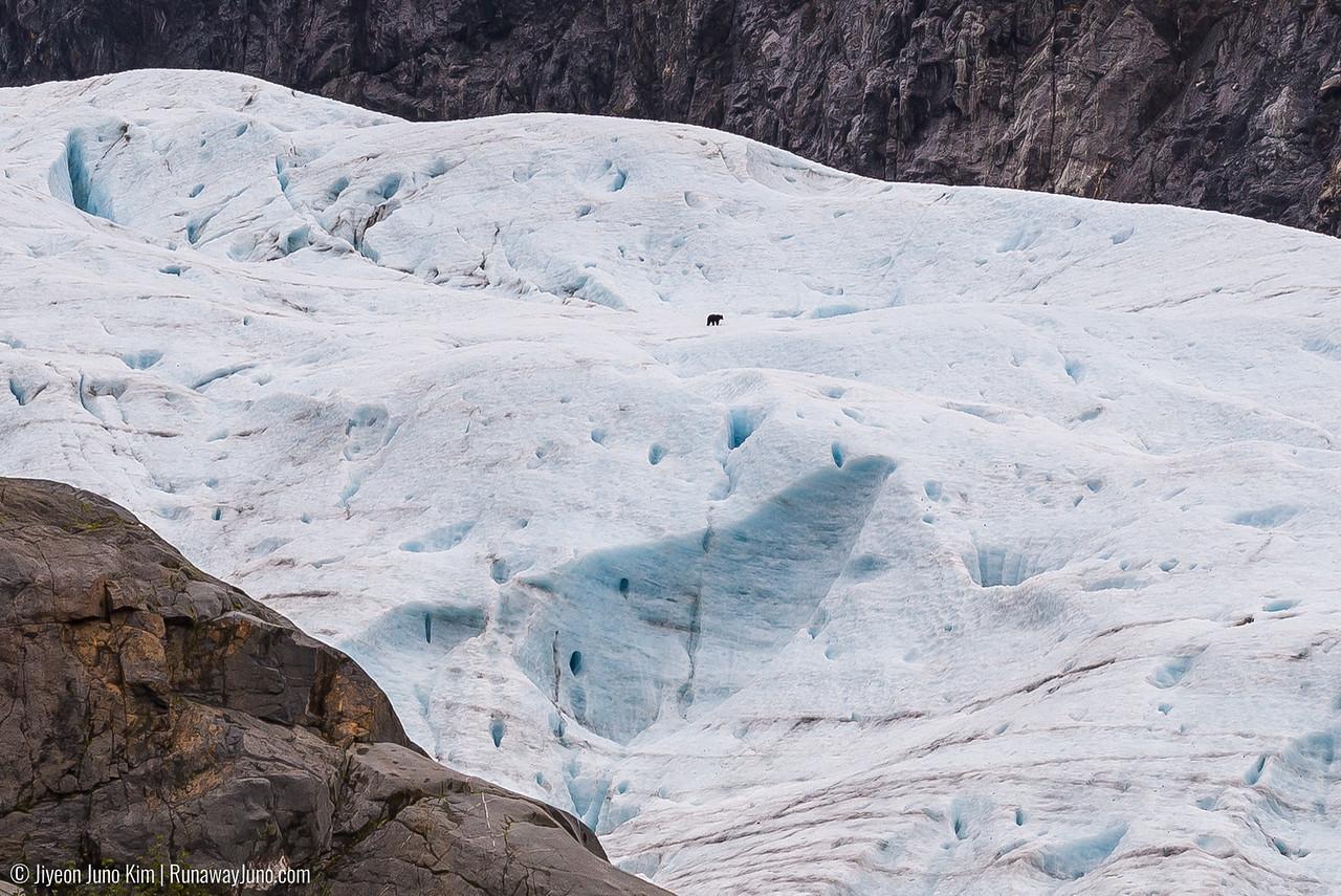 A black bear on Lawrence Glacier