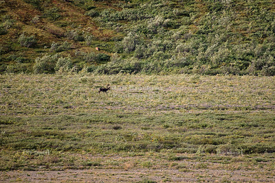 Caribou in Denali National Park and Preserve