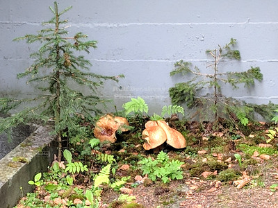 Backyard Mushrooms in Anchorage