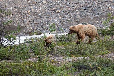 Gizzly Bears in Denali National Park