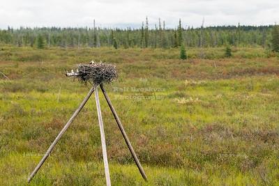 Ospreys in their nest