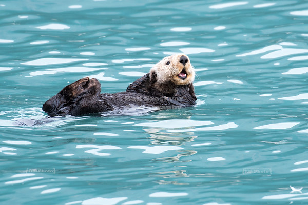 Sea Otter in Resurrection Bay