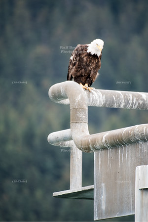 Bald Eagle in Seward, Alaska