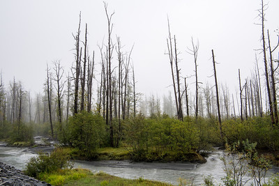 Dying spruce forest near Valdez
