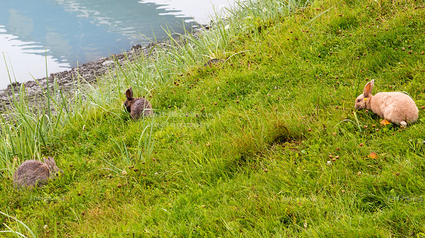 Rabbits in Valdez, Alaska