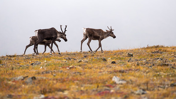 Caribous near Eagle Summit, Alaska