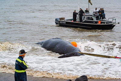The whale is tied at the tail and brought to the shore