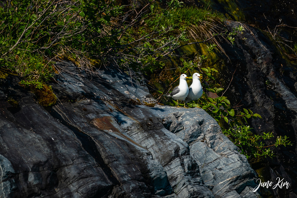 Shoup Bay has the biggest kittiwake rookery in Prince William Sound.