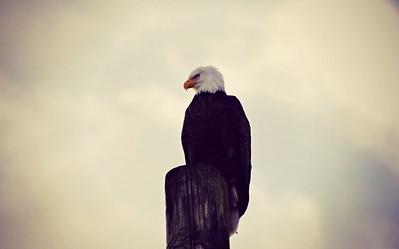Bald Eagle, Ketchikan