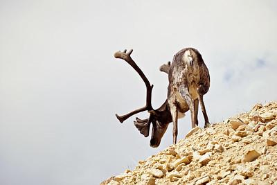 Caribou, Denali NP