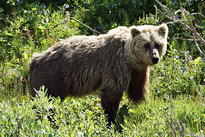 Grizzly Bear, Denali NP