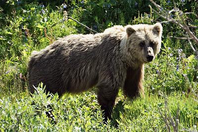 Grizzly Bear, Denali NP