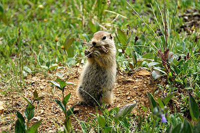 Arctic Ground Squirrel, Denali NP