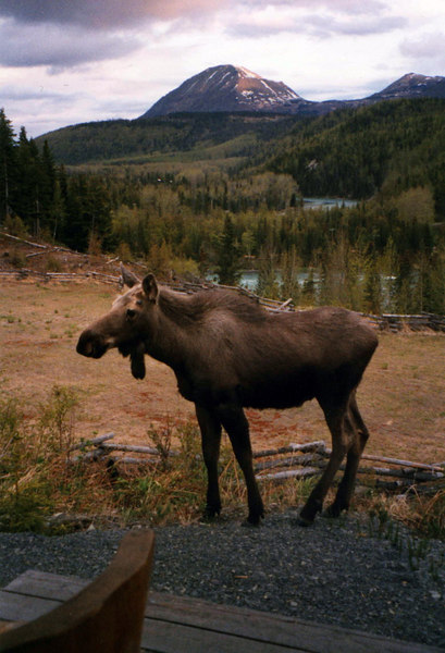 my first moose sighting, right outside our front door.