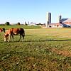 Mules outside an Amish farm.