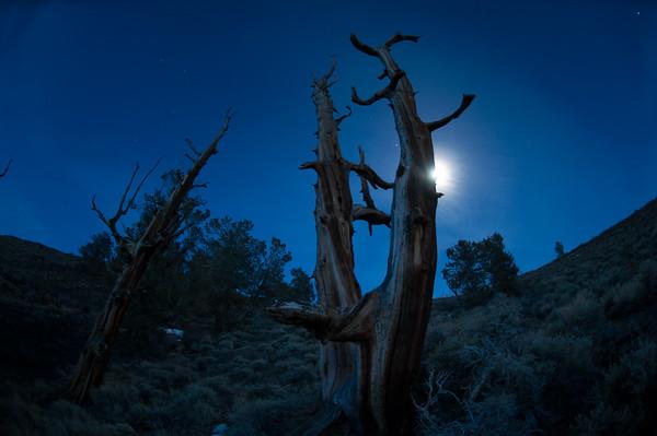 Ancient Bristlecone Pine Forest, California.