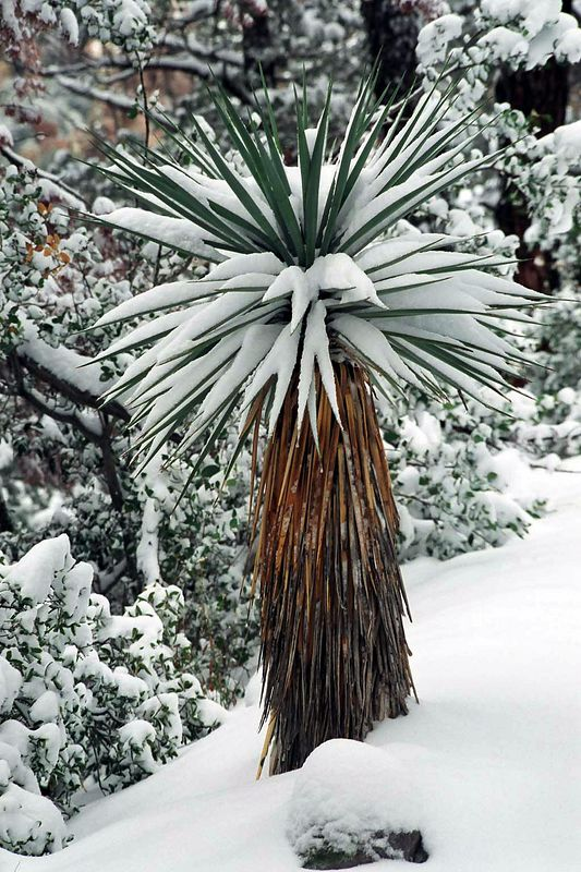 snowed out Cactus in Chiricahua national monument, AZ