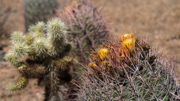Blooming Cactus at the Phoenix Sonoran Preserve