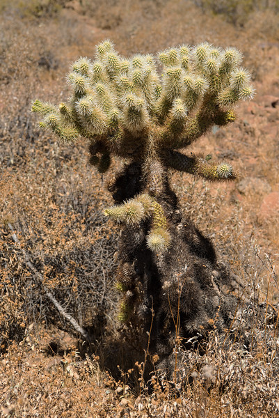Cholla cactus in the Sonoran Desert