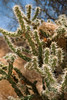 Buckhorn Cholla with Bird's Nest