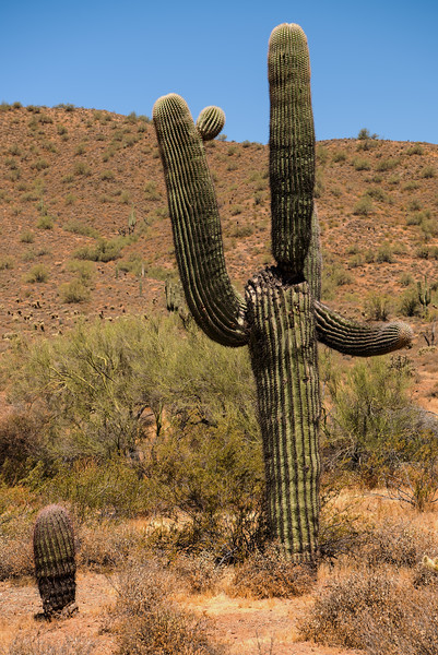 Saguaro at Phoenix Sonoran Preserve