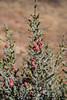 Desert Christmas Cactus
