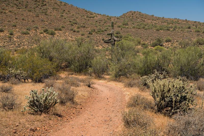 Saguaro Cactus on the Apache Wash Trail