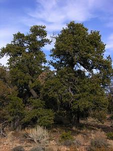 © Joseph Dougherty. All rights reserved.   Pinyon Pine (or piñon), Pinus edulis, at the Grand Canyon.