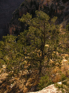 © Joseph Dougherty. All rights reserved.   Pinyon Pine (or piñon), Pinus edulis, at the Grand Canyon.