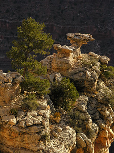 Pinyon Pine (or piñon), Pinus edulis, clinging to rocks on a butte at the Grand Canyon.