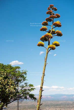 Blooming Century Plant (Agave Americana) i