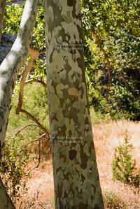 Arizona Sycamore (Platanus wrightii)