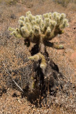 Cholla cactus in the Sonoran Desert