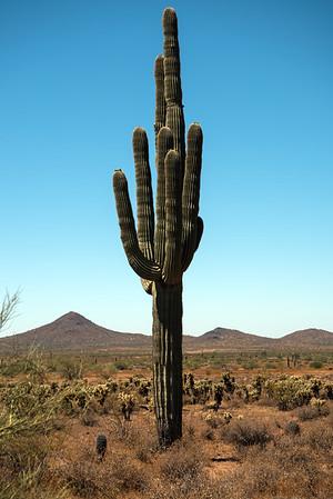 Saguaro at Phoenix Sonoran Preserve, Arizona, USA