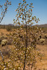 Creosote bush in the Sonoran Desert