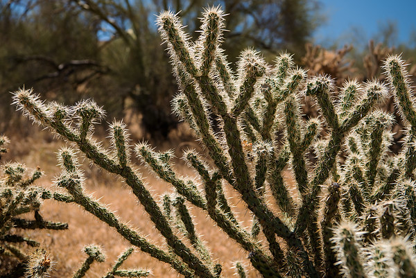 Buckhorn Cholla (Cylindropuntia acanthocarpa)