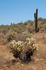 Chollas and Saguaros