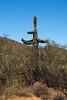 Giant Saguaro in Phoenix Sonoran Preserve