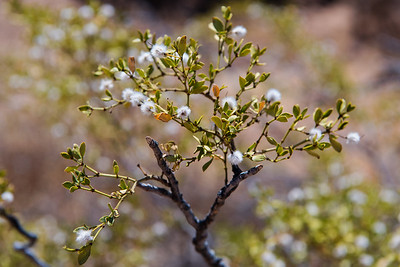 Blooming Desert Shrubs