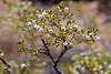Blooming Desert Shrubs