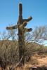 Saguaro Cactus at the Phoenix Sonoran Preserve