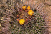 Blooming Fishhook Barrel Cactus